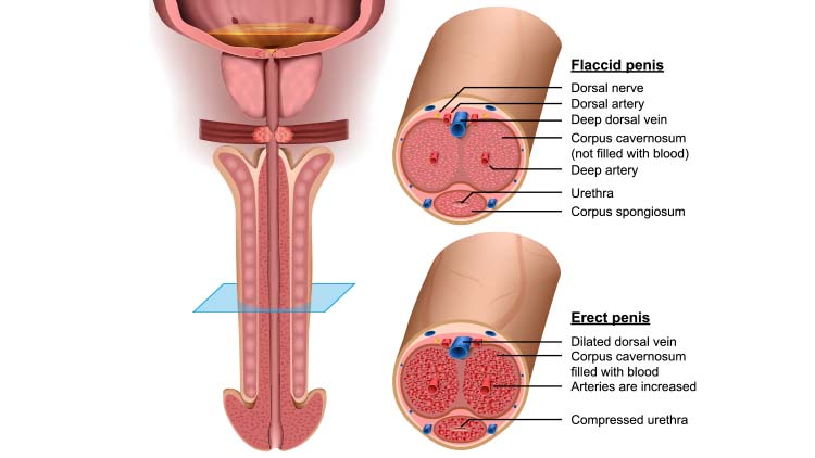 Anatomy, cross section Penis, 3d vector illustration