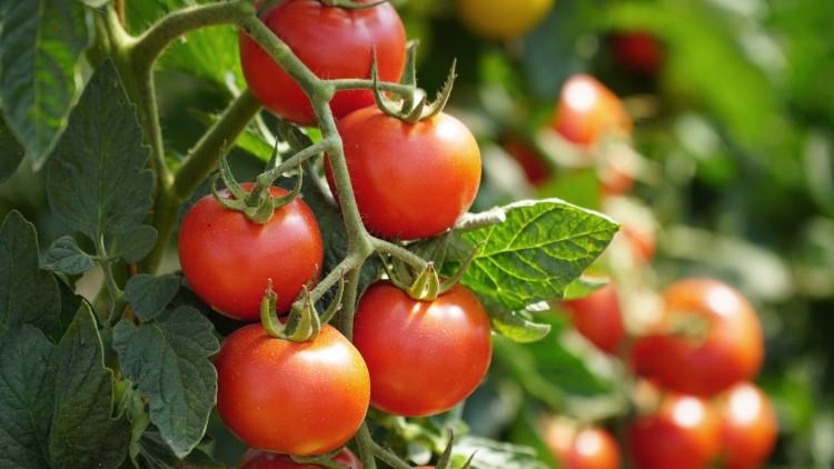 Tomato plant close up