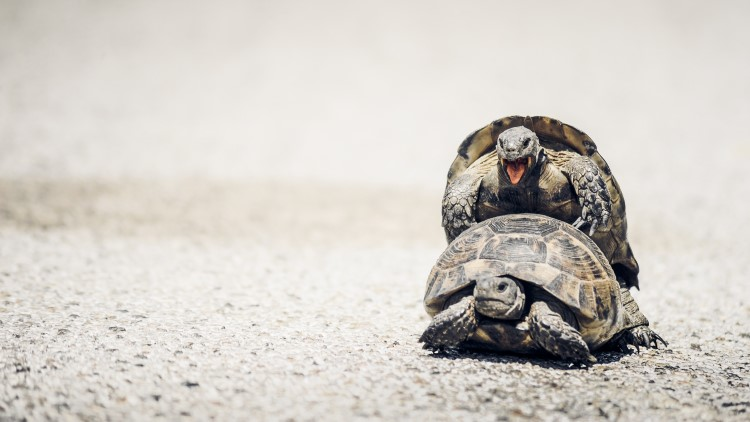 Tortoises mating on the road in the sun